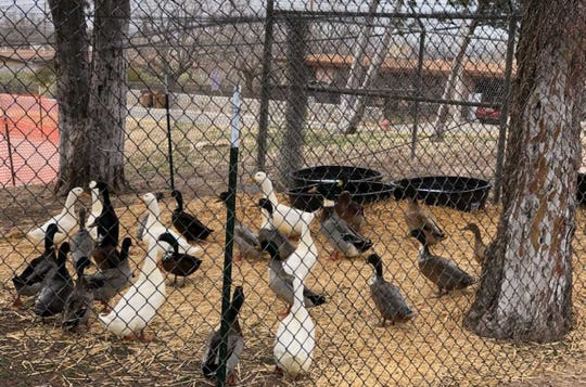 Some 38 ducks, formally at Young Park pond, are now up for adoption at the Animal Services Center of the Mesilla Valley.