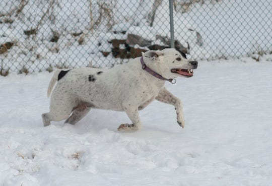 Fulton is a short-haired dog that loves to play in the snow, but also knows when it's time to come in and get warm.