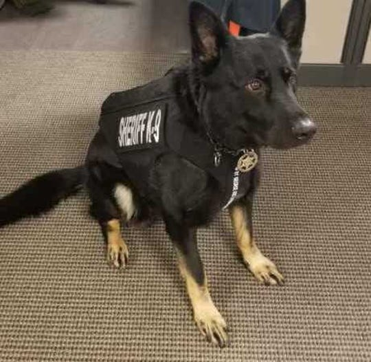 York County Sheriff K-9 Dargo and his new vest.