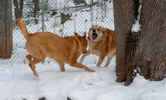 Chipper and Scoop enjoy a romp in the snow in Newberry Township on Wednesday, Jan. 30.