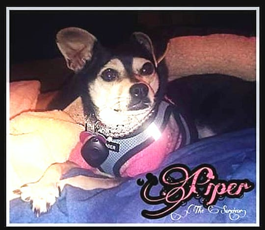 A submitted photo showing Piper, a 1-year-old Chihuahua. Piper survived after being abused by her owner's ex-boyfriend last year.