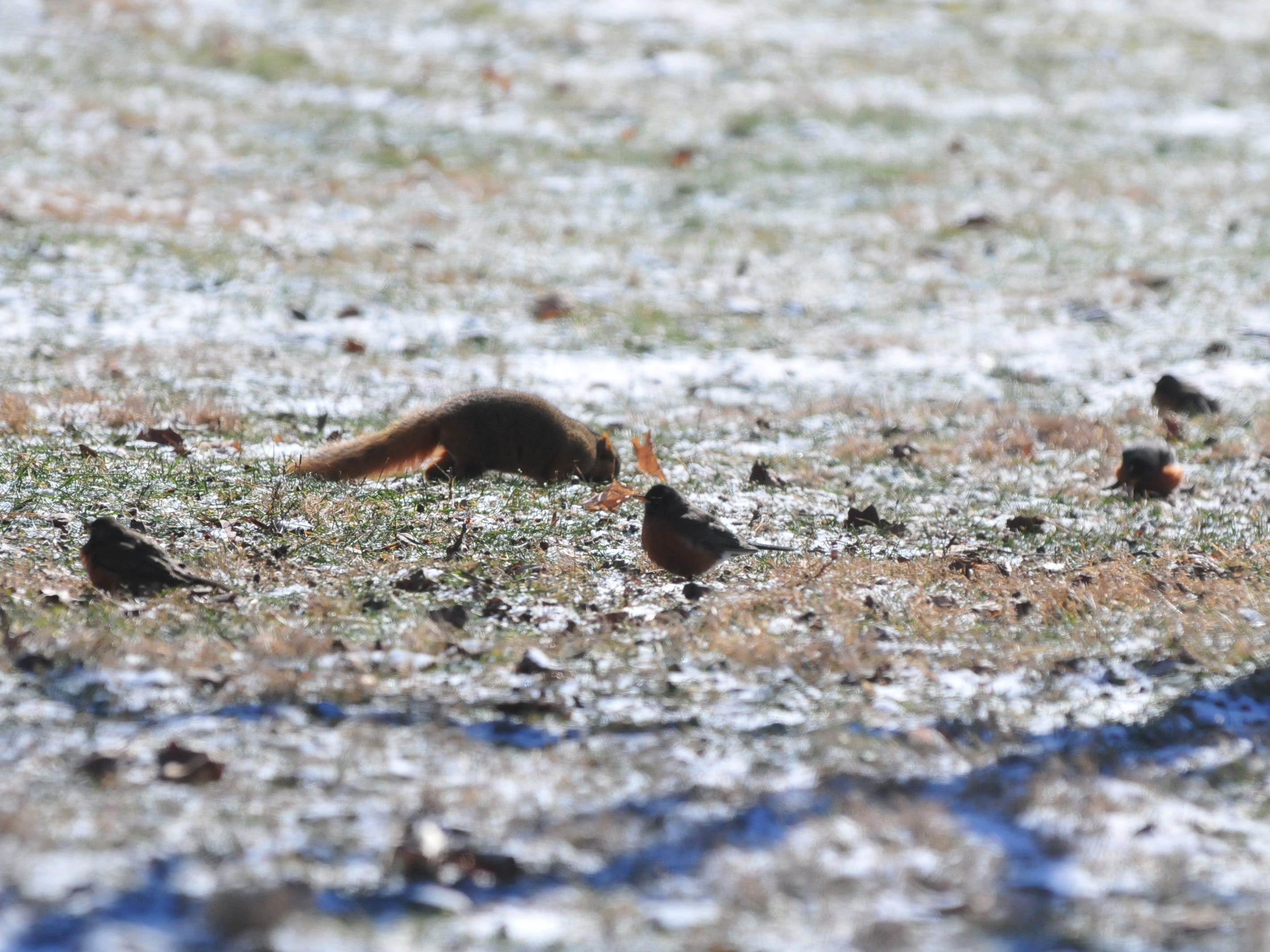 A squirrel searches for food among some birds Wednesday at Earlham College.