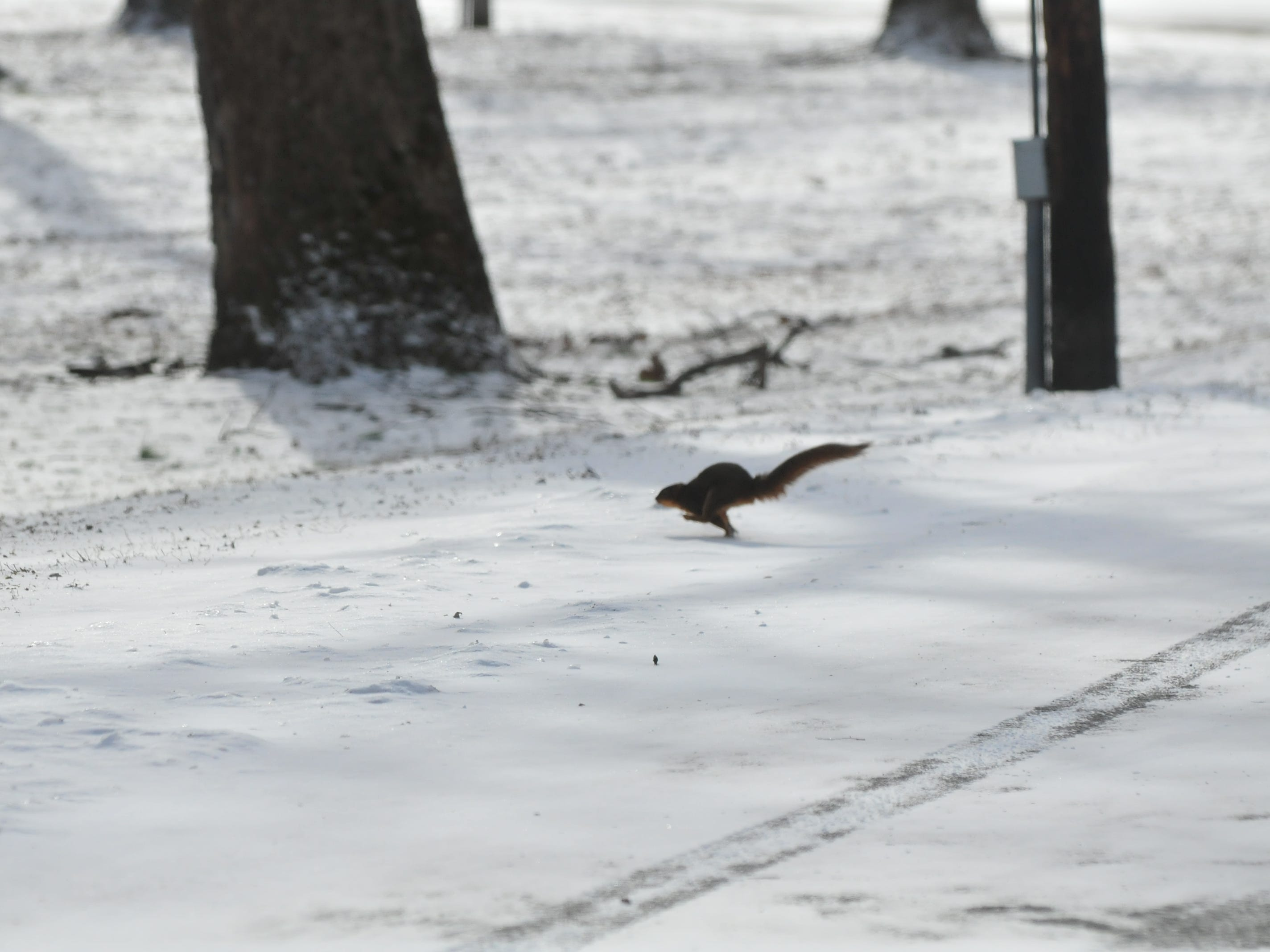 A squirrel runs toward trees at Springwood Park after raiding garbage cans Wednesday.