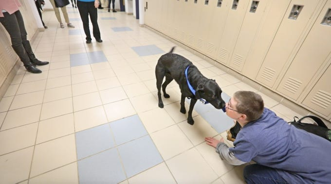 Dominic Payne, a ninth-grader at Monroe 2 BOCES at Spencerport High, visits with Ruby, a 4-year-old black Labrador retriever who is the new therapy dog at Spencerport High School, as she walks the hallways Tuesday, Jan. 29, 2019.