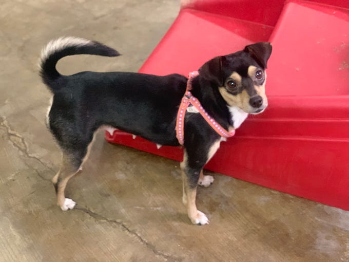 Honey Bear is a 4-year-old female all America dog, a happy mutt. She does well with other dogs and is okay with cats. She's leash trained and loves to snuggle. Visit Tails of Rescue Adoption Center, 981 Lake Blvd., Redding. Call 448-7444. Go to http://tailsofrescue.org.