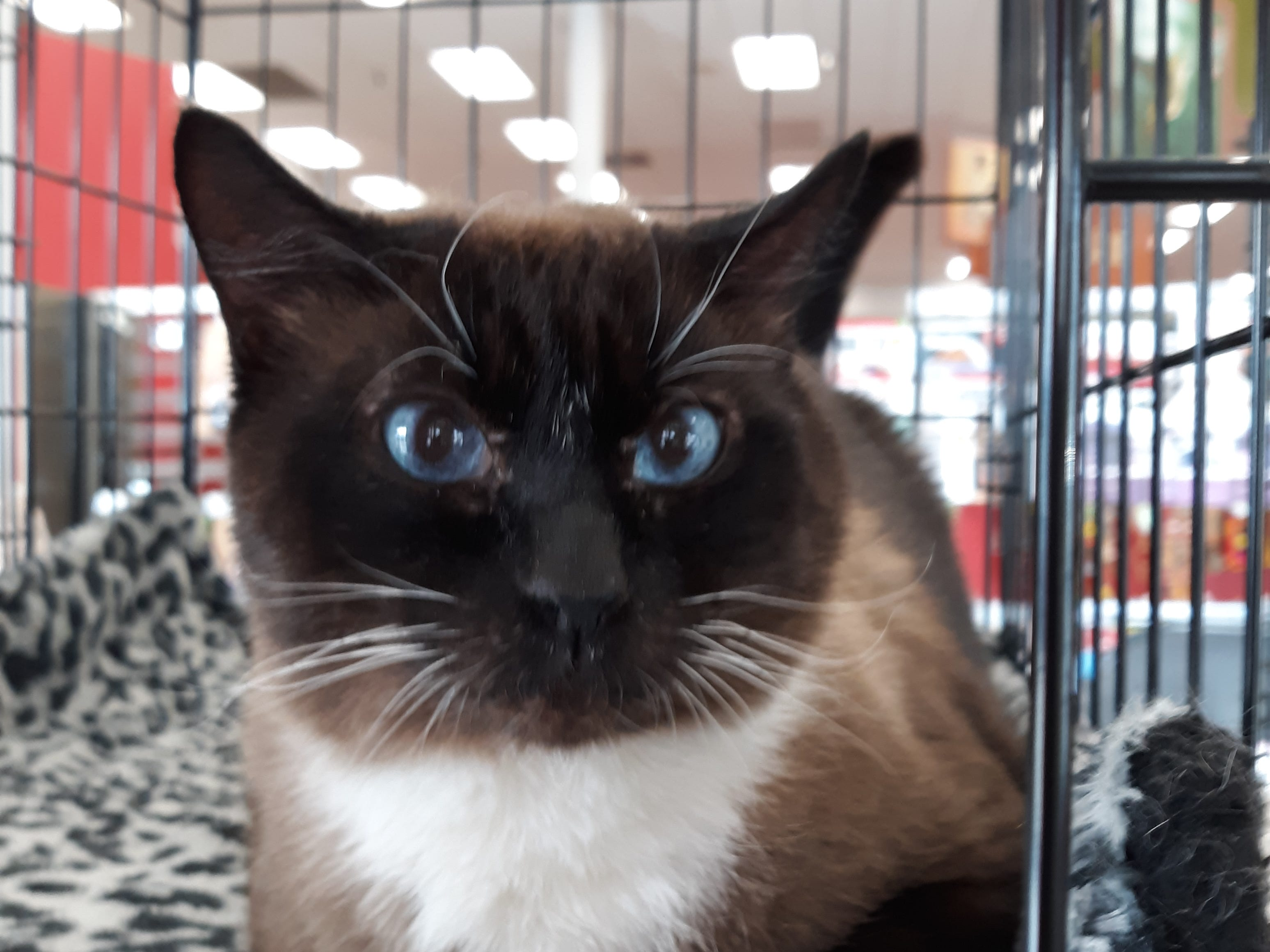 Sox is a 5-year-old, male, Snowshoe Siamese cat who's current on vaccines. He's a lap cat who's very affectionate. All animal adoptions include spaying or neutering and vaccinations. Apply with Another Chance Animal Welfare League at www.acawl.org. Call 356-0698.