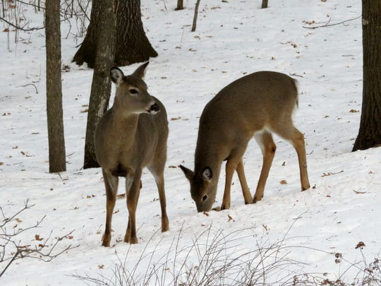 Food, cold, snow and predators are all issues deer contend with in the winter.