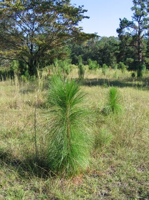 Longleaf pine in the bottle brush stage. Photo by Stan Rosenthal.