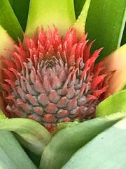 A pineapple starting to grow looks like a beautiful flower.