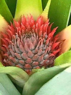 A pineapple starting to grow looks like a beautiful flower.