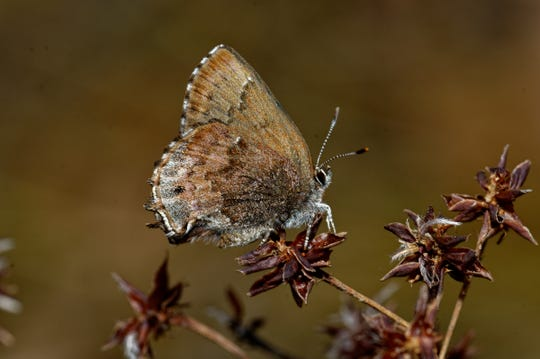 The Frosted Elfin is a butterfly that has been declining in most of its range but has a good population in the Apalachicola National Forest.
