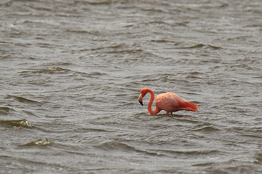 The elusive flamingo is still being sighted in the bay at St. Marks Wildlife Refuge.