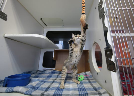 The city of El Paso Animal Services department received a grant that will allow it to set up a cat lounge of adoptable animals at the El Paso Zoo.
