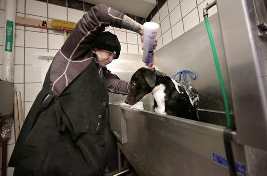 Julia Krampe washes dogs Wednesday, Jan. 30, 2019, as the Animal Services shelter prepares for a free adoption day Saturday. The shelter needs to make room for an expected influx of animals in the spring.