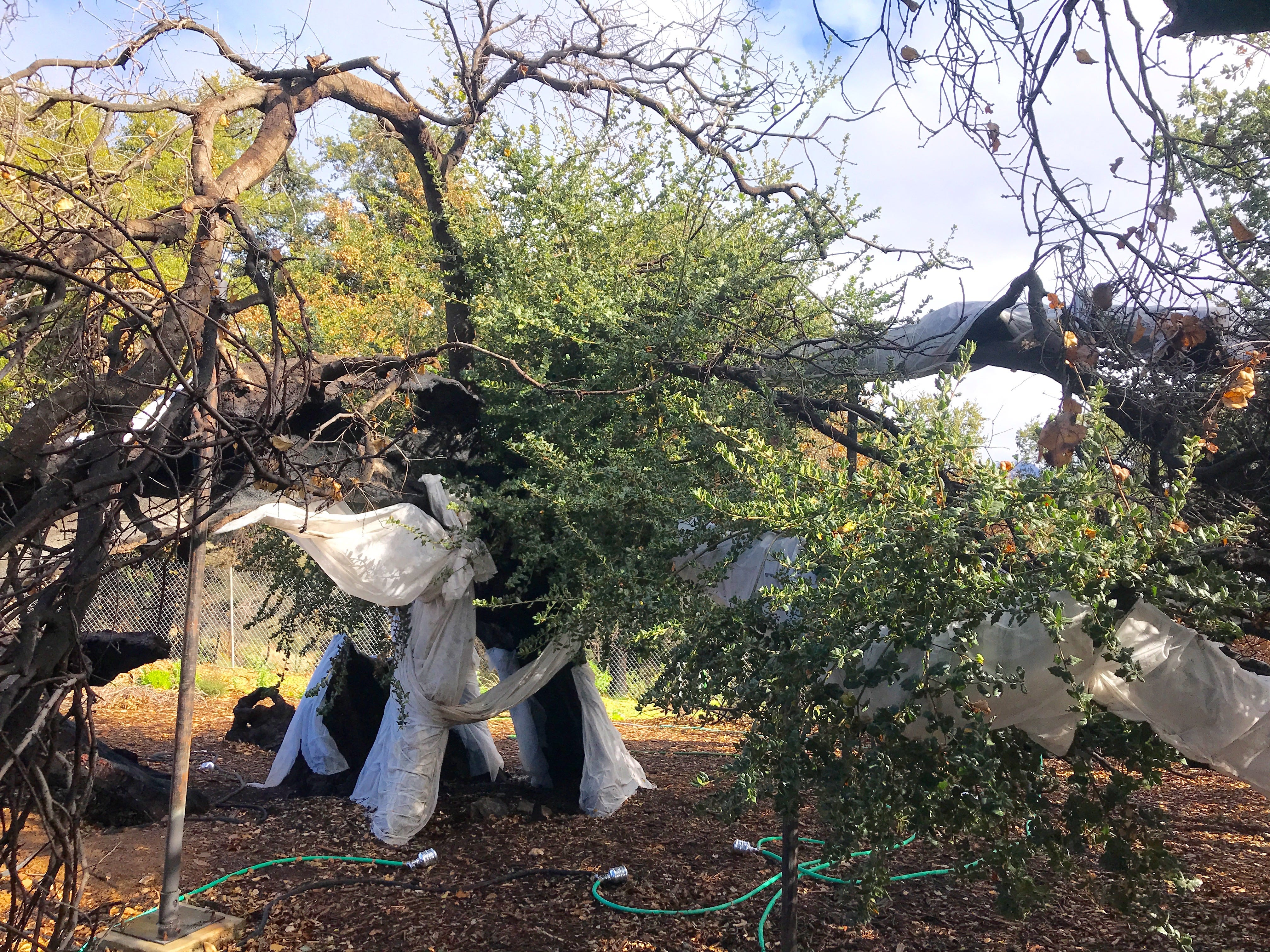 Baba's Tree, named for Indian spiritual teacher Meher Baba, is showing positive signs of recovery after being badly burned during the Thomas Fire.