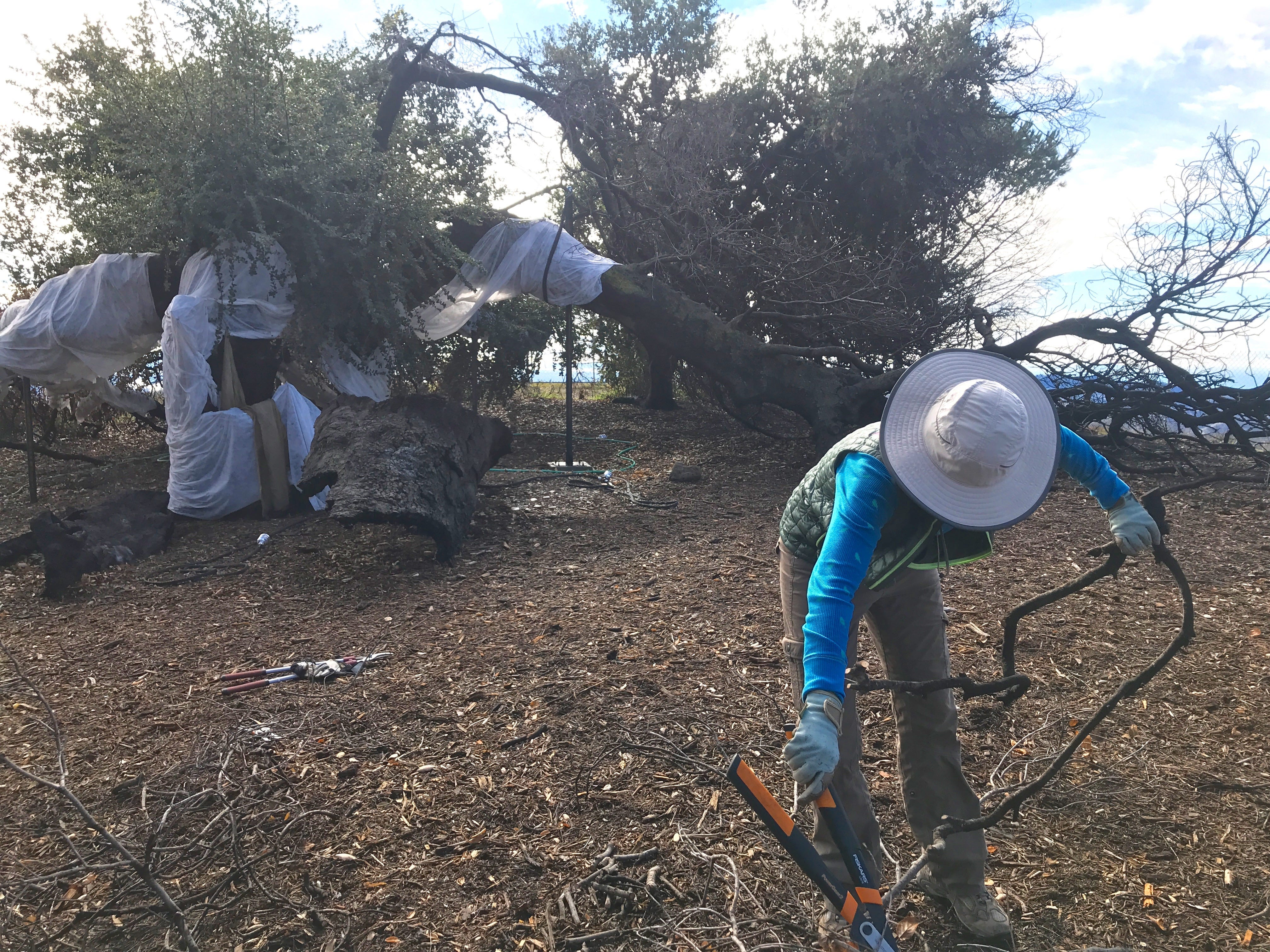 Kristina Somma, a temporary caretaker at Meher Mount in Ojai, collects sacred sticks from the dead wood left behind after Baba's Tree partly collapsed and burned during the Thomas Fire.