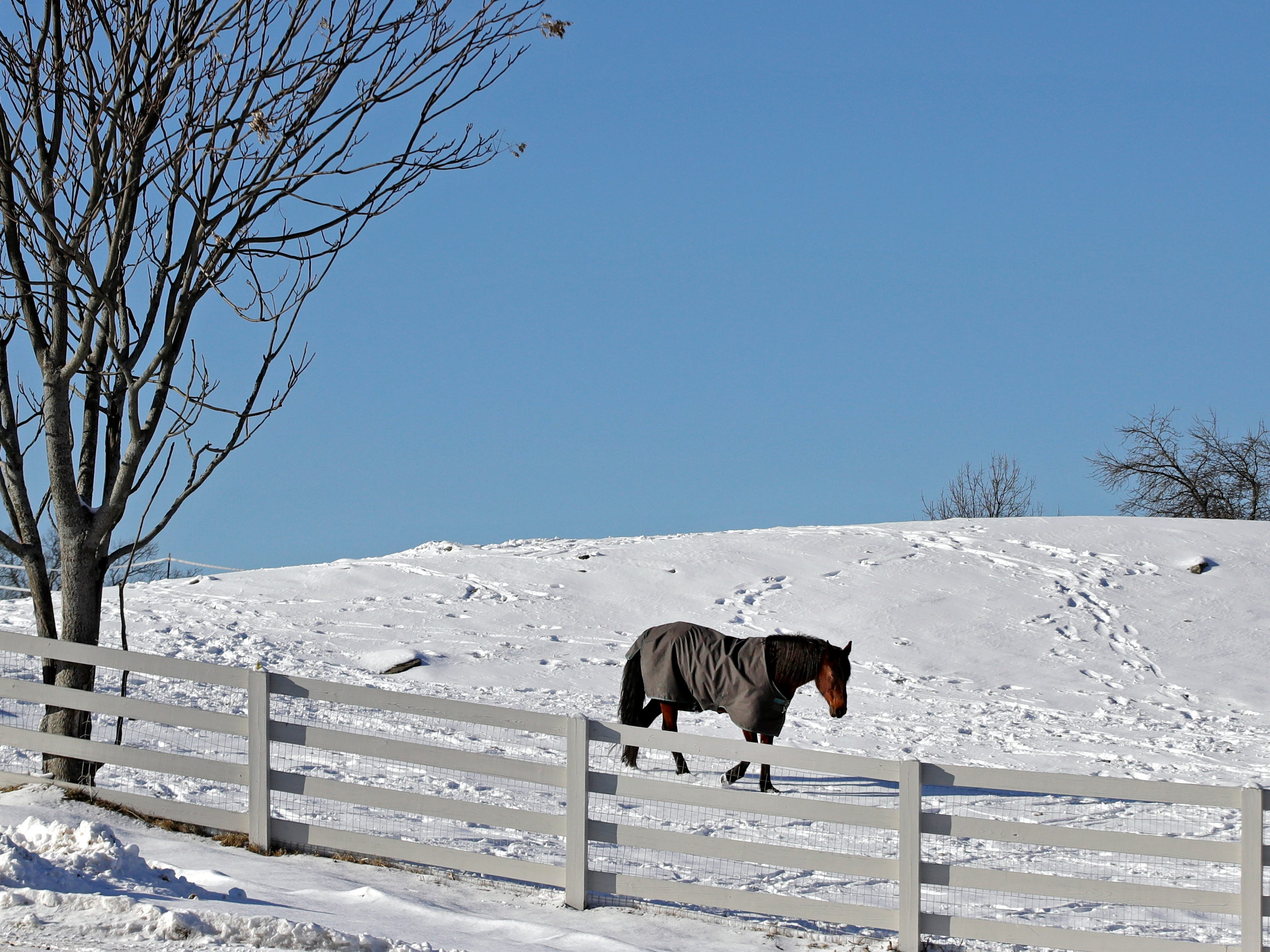 A horse wears a coat as he walks in the snow at Nevins Farm, Jan. 30, 2019, in Methuen, Mass.