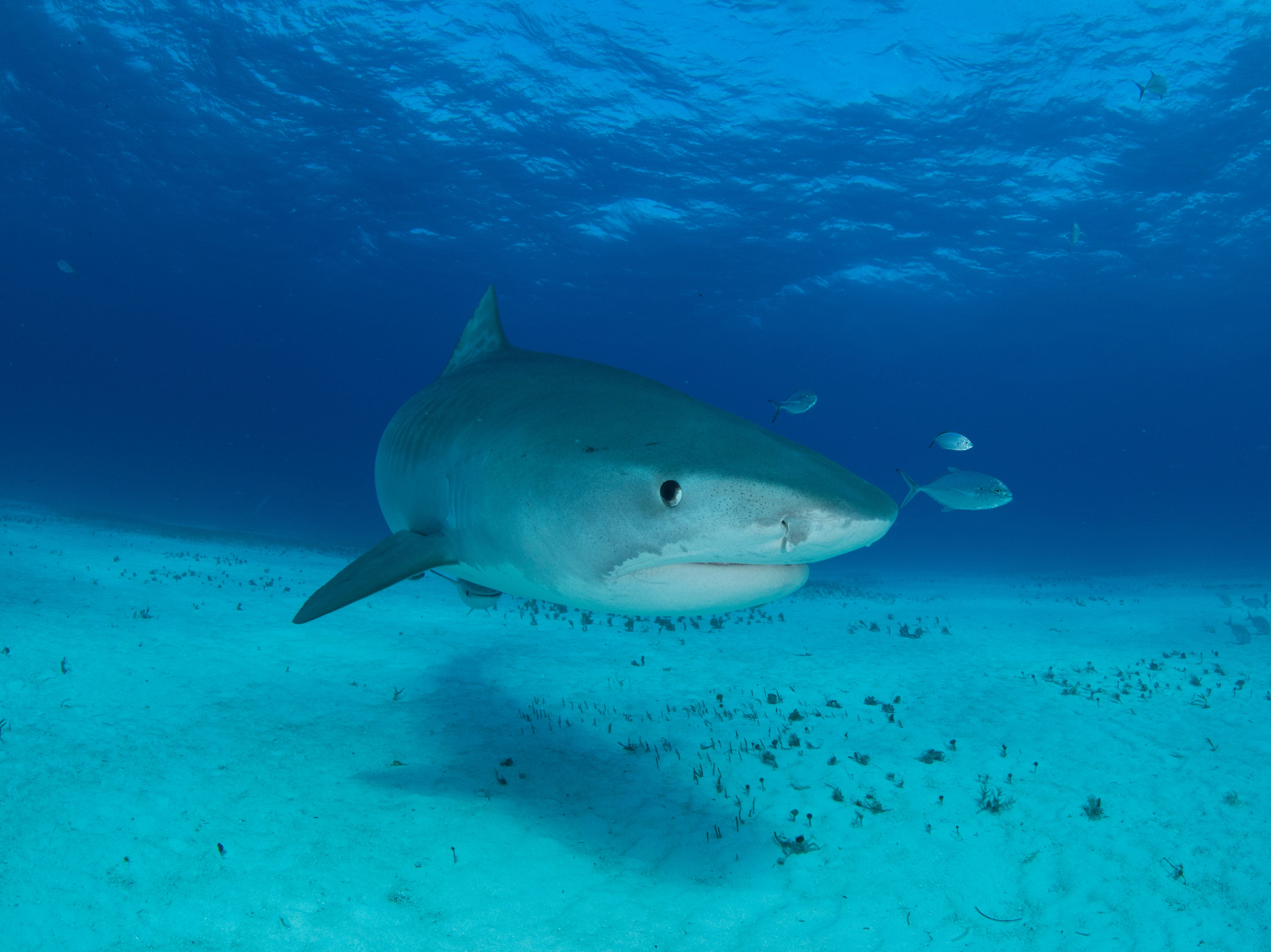 Swimming with tiger sharks in the Bahamas.