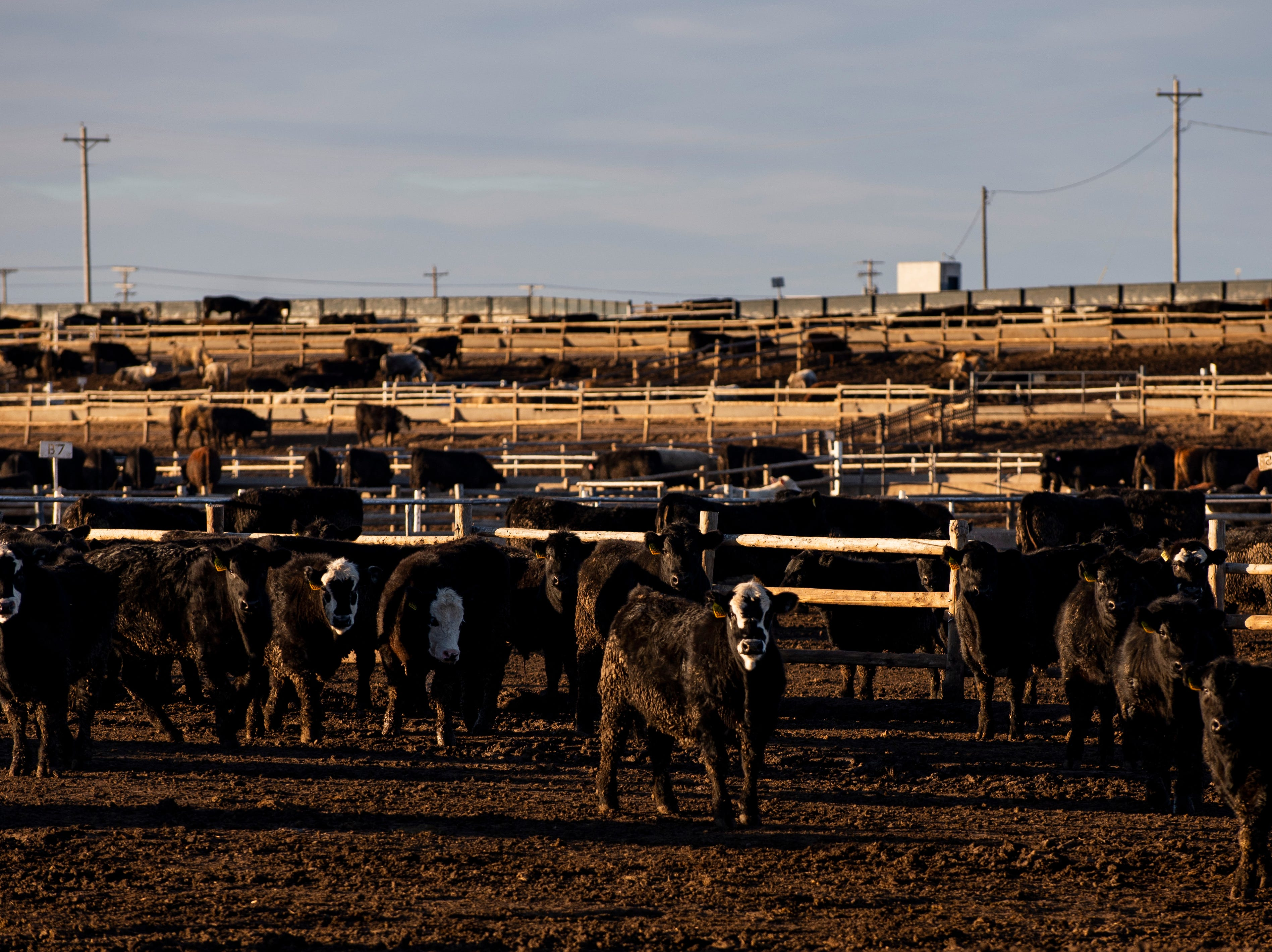 Cattle stand in pens at the Brookover Feed Yard in Garden City Wednesday on Jan. 23, 2019. The city, which is near the Tyson Fresh Meats meatpacking plant, is home to a large number of resettled refugees who work at the plant.