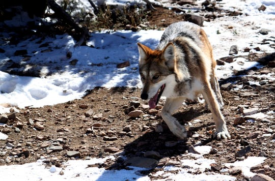 FILE - In this Dec. 7, 2011, file photo, a female Mexican gray wolf at the Sevilleta National Wildlife Refuge in New Mexico. (AP Photo/Susan Montoya Bryan, File)