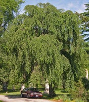 "Seeing examples of mature trees (like this ""dwarf"" weeping cherry) is very valuable for home gardeners"