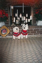 Here are Monty, left, and Becky, right, our first two Westies. They have been followed by Felicity, Cedric, Perpetua and Augustine.