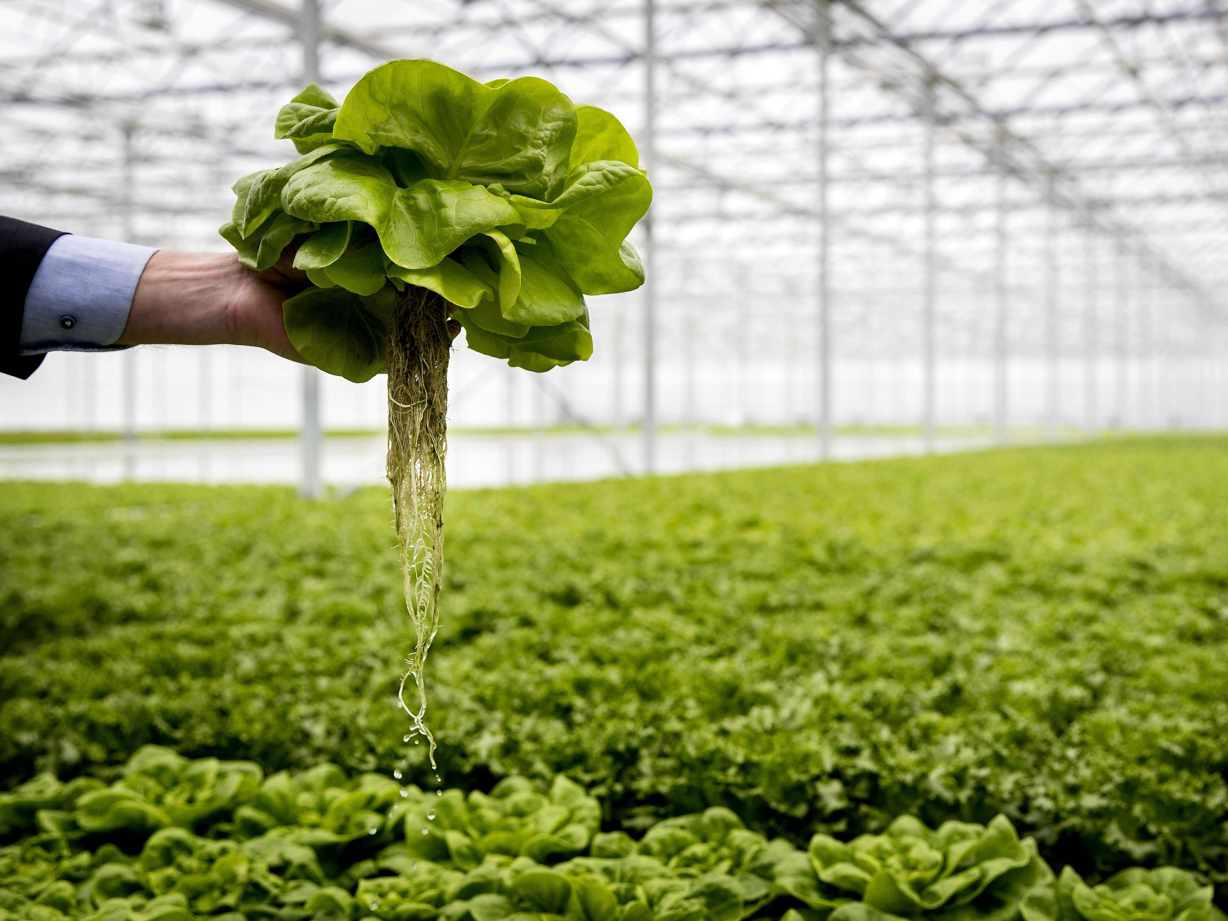 This is the first official harvest of hydroponic lettuce at a greenhouse in Warmenhuizen, in northeastern Netherlands, on January 31, 2019. It is a new sustainable way of lettuce cultivation in which the roots of the plant, which hangs above the water, extract the nutrients from the water.
