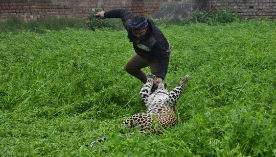A leopard attacks a man after straying into a residential area in Jalandhar, India, Thursday, Jan. 31, 2019.
