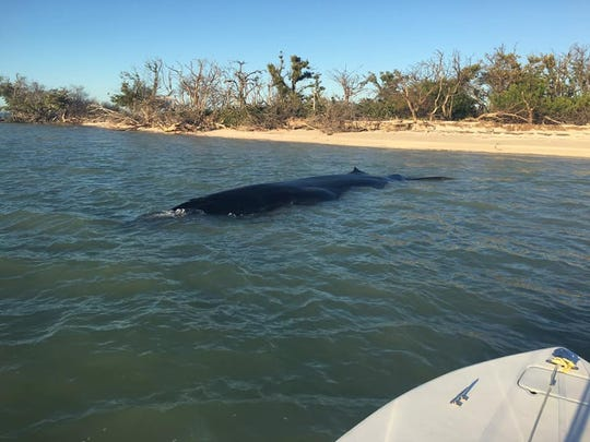 A rare dead Bryde's whale was recovered Tuesday in Everglades National Park.