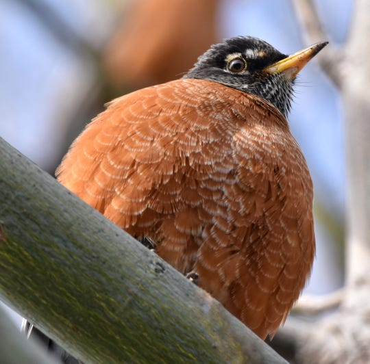 This American robin is puffing out its feathers to keep insulated on a below-freezing day.