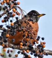 Talk about perfect camouflage. An American robin blends right in with these leftover berries on a tree.