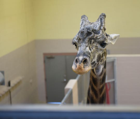 Congo the giraffe watches as the Nashville Zoo handlers get ready for him to make his Super Bowl pick.