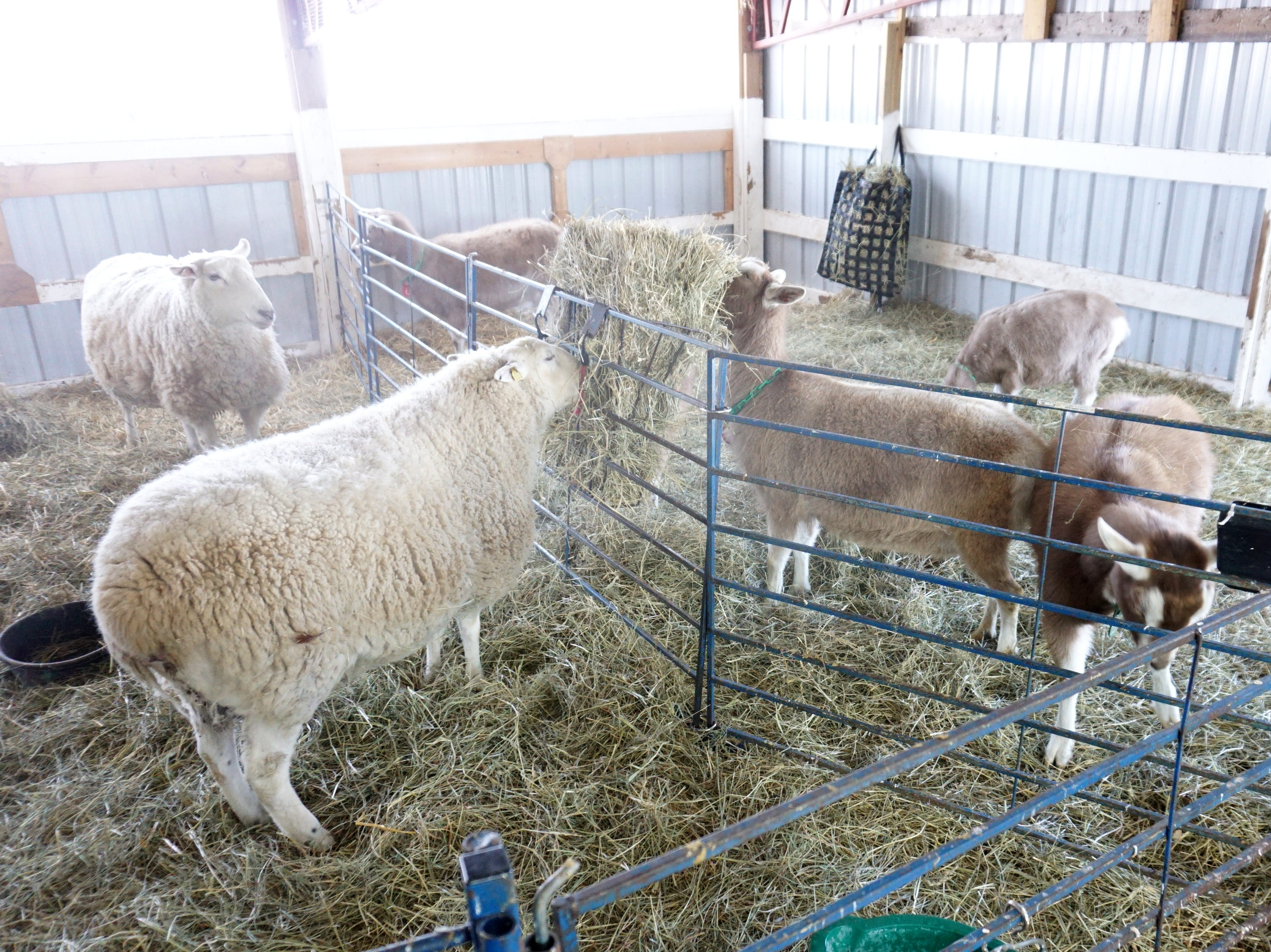 Tollgate Farms' sheep, goats and chickens found shelter in this unheated barn at the educational facility. Even though it protected the creatures from the wind it was still below zero in the barn.