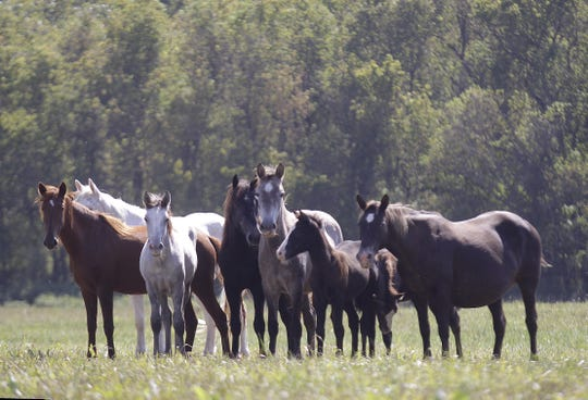 The wild horses of Shannon County in a pasture near the banks of the Jacks Fork River. This photo originally appeared in the News-Leader Nov. 6, 2011.