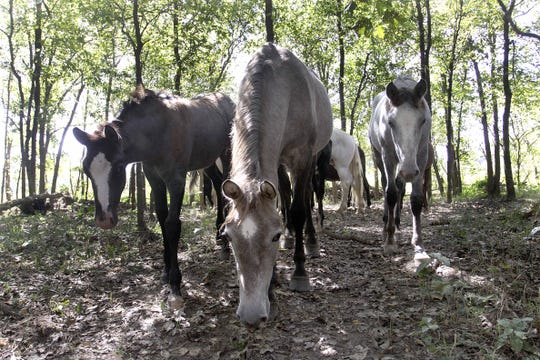 The wild horses of Shannon County walk through the woods on the banks of the Jacks Fork River. This photo originally appeared in the News-Leader Nov. 6, 2011.