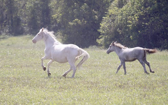 A mare and her colt run across a pasture. his photo originally appeared in the News-Leader Nov. 6, 2011.