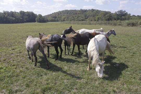 The wild horses graze in a pasture on the bank of the Jacks Fork River. This photo originally appeared in the News-Leader Nov. 6, 2011.