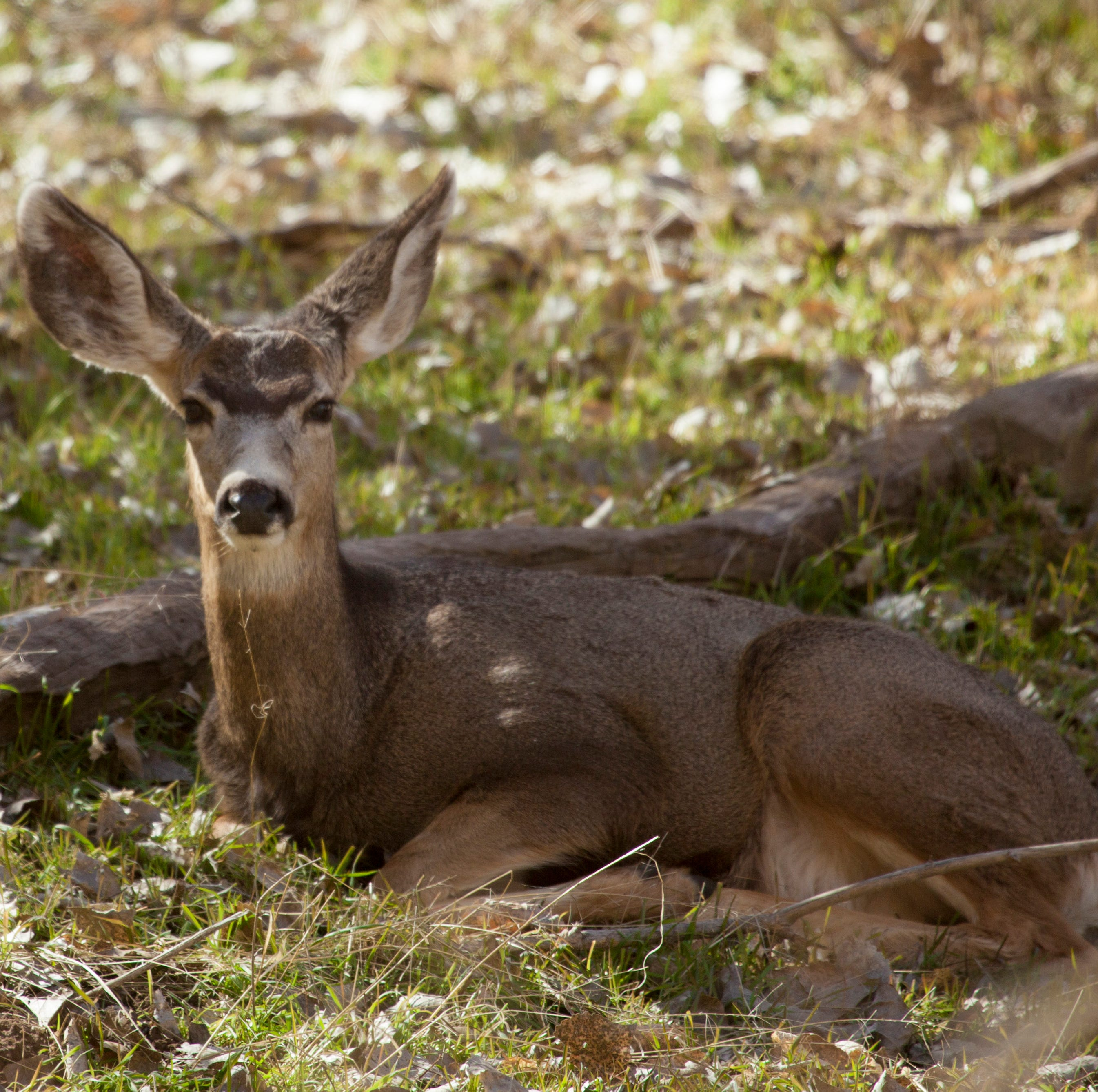 Big game populations are increasing in Utah; Wildlife board approves more hunting permits