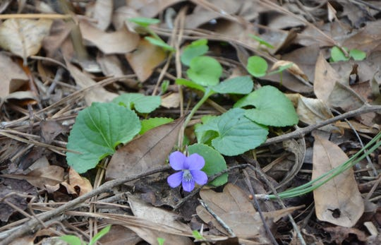 Blue Violets are changing the appearance of Leon County's forest floor. This delicate perennial will continue its blooming until the weather warms.