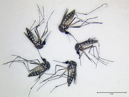 Aedes aegypti mosquitoes after an experiment. The lack of red in their guts indicates compounds repelled the mosquitoes, which chose not to feed.