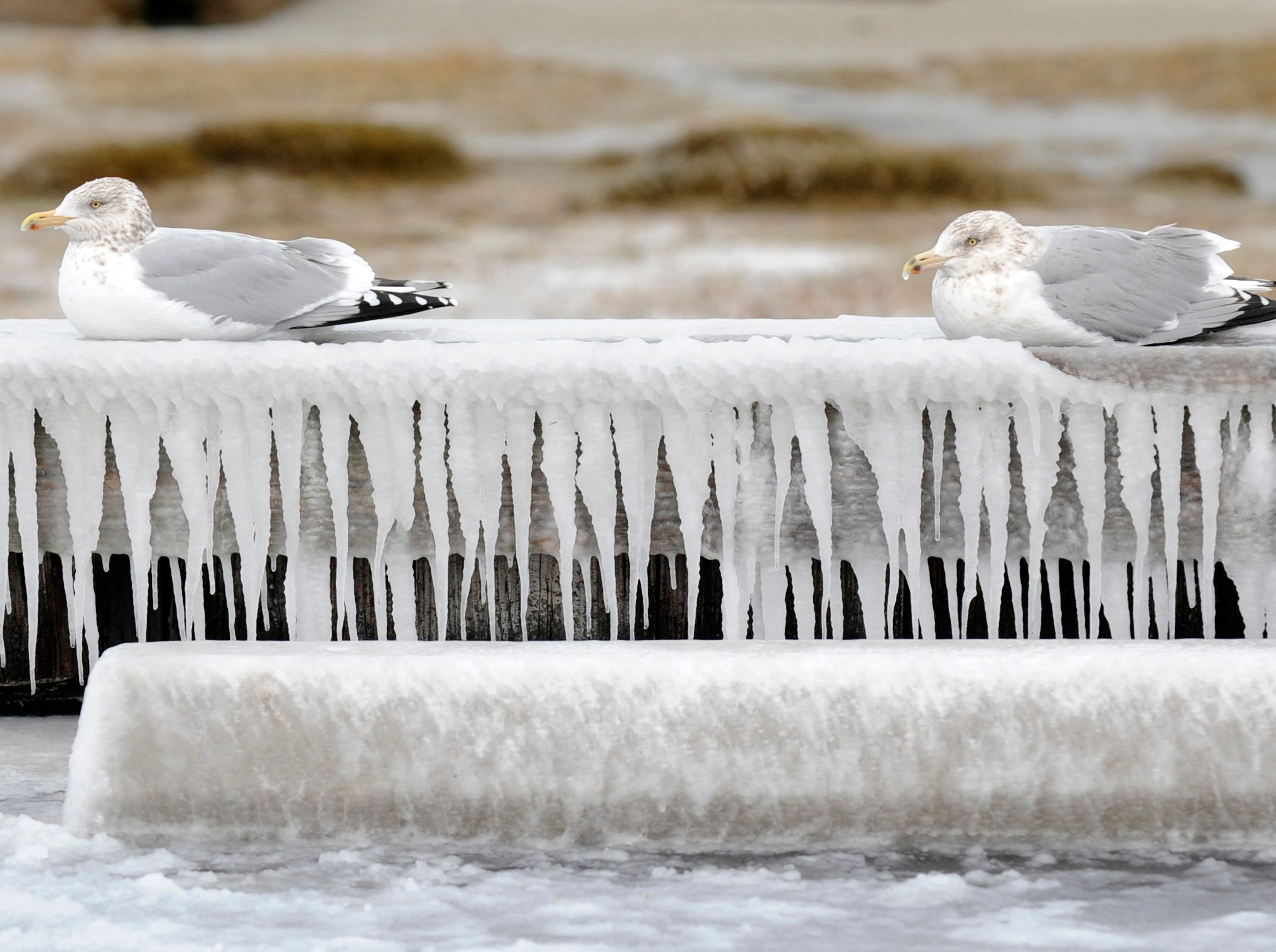 In this Monday, Jan. 21, 2019, photo two gulls rest on an ice-encrusted wave barrier at Corporation beach in Dennis, Mass.