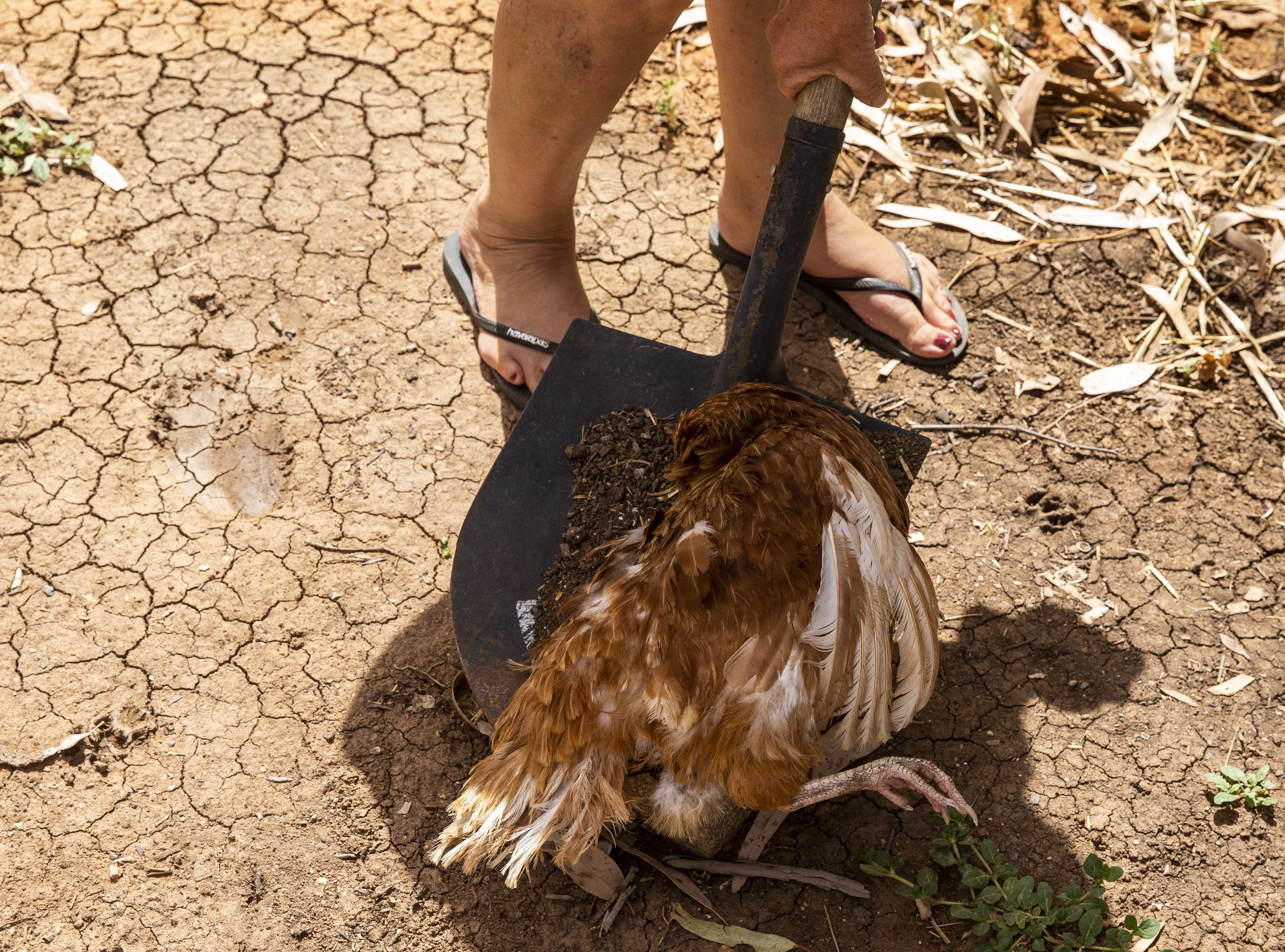 A dead chicken is found by Shindy Inn's owner Kath Barnes in 116.6 degree heat on January 17, 2019 in Louth, Australia. Local communities in the Darling River area are facing drought and clean water shortages as debate grows over the alleged mismanagement of the Murray-Darling Basin.