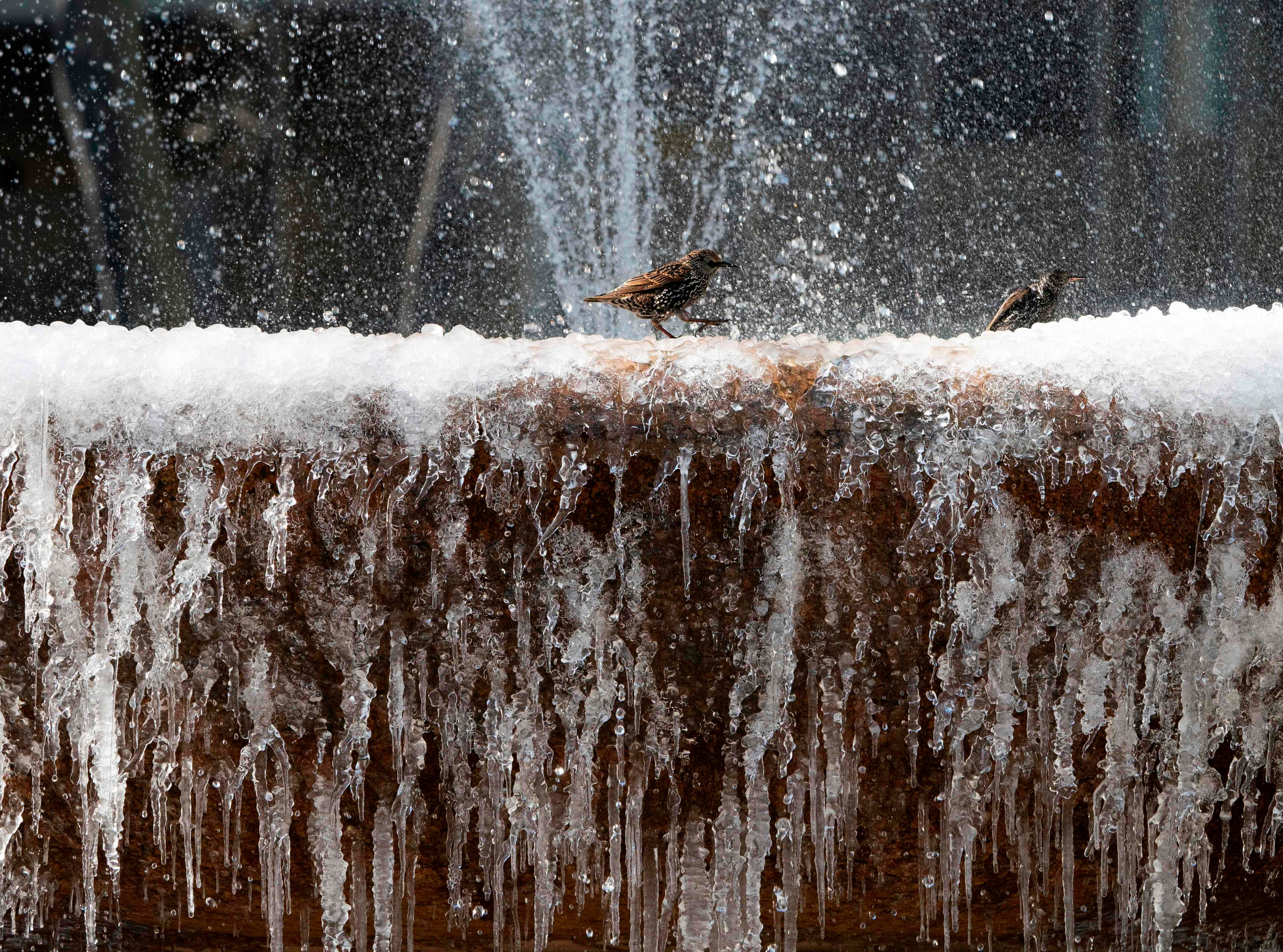 Birds play in the frozen fountain in Bryant Park January 11, 2019 in New York. New York City was hit with bitter temperatures and high winds. The low for Friday was 22 Farenheit.