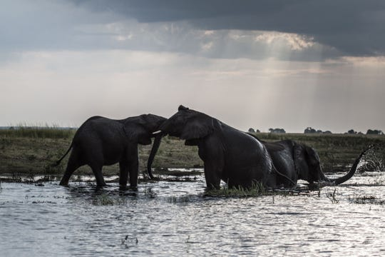 Elephants splash at sunset in the waters of the Chobe river in Botswana Chobe National Park, in the north eastern of the country on March 20, 2015.