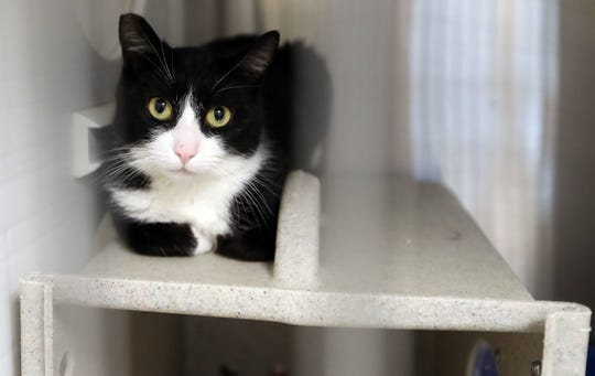 A barn cat names Tuxiana lounges looks out of her kennel at the Kitsap Humane Society in Silverdale on Friday.