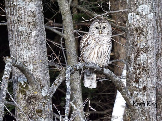This December photo of a barred owl in Clarendon is one of Kristi King's most popular recent posts.