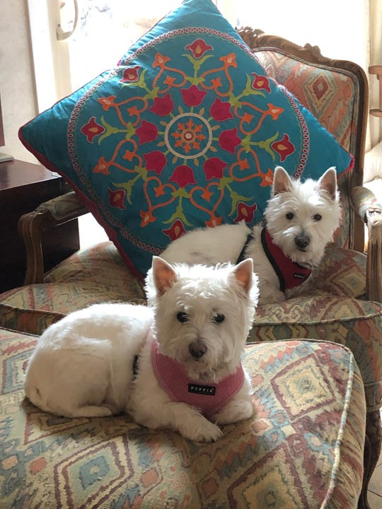 Our current good dogs, Perpetua, front, and Augustine. Westies know how to relax!