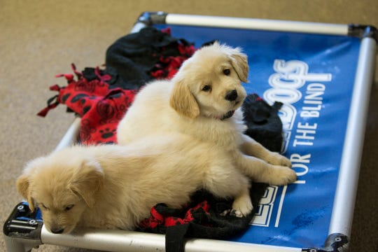 Puppies are seen at the Leader Dogs for the Blind campus in Rochester Hills, Tuesday, Jan. 1, 2019.