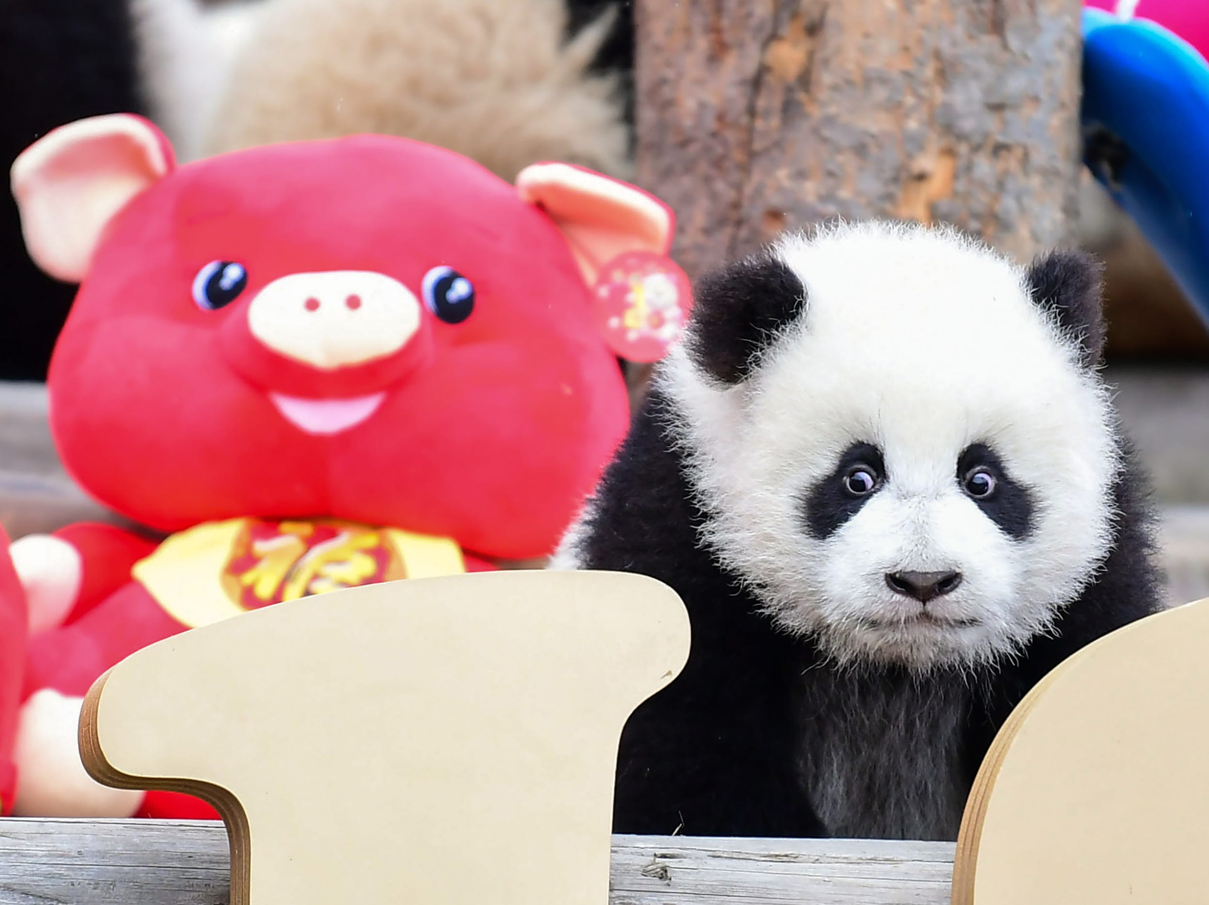 A  panda cub plays in its enclosure with Lunar New Year decorations at the Shenshuping breeding base of Wolong National Nature Reserve in Wenchuan, China's southwestern Sichuan province. - Eleven panda cubs born in 2018 were presented to the public to mark the upcoming Lunar New Year of the Pig, which starts on February 5.