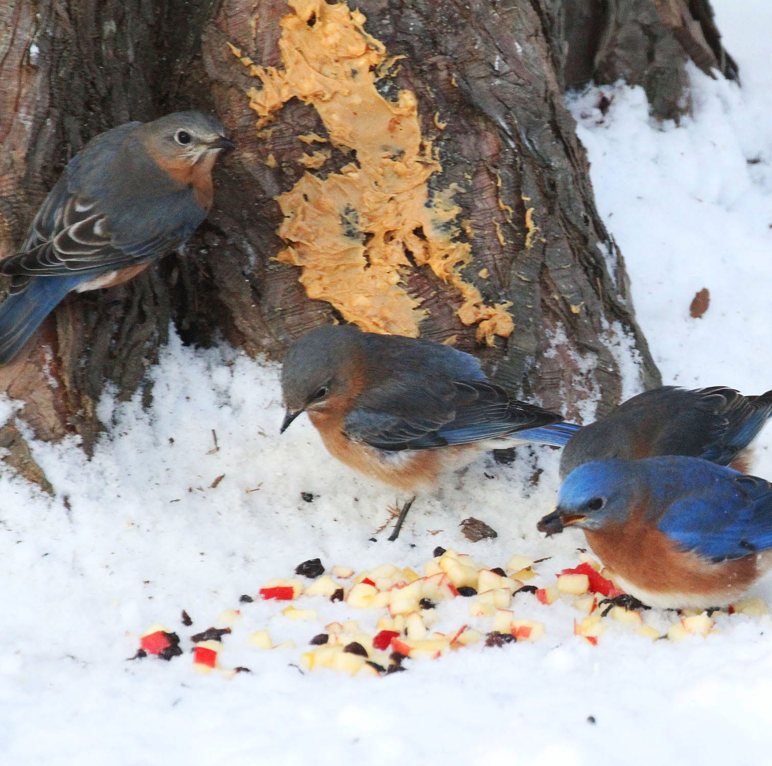 For the Birds: What do you feed your bluebirds